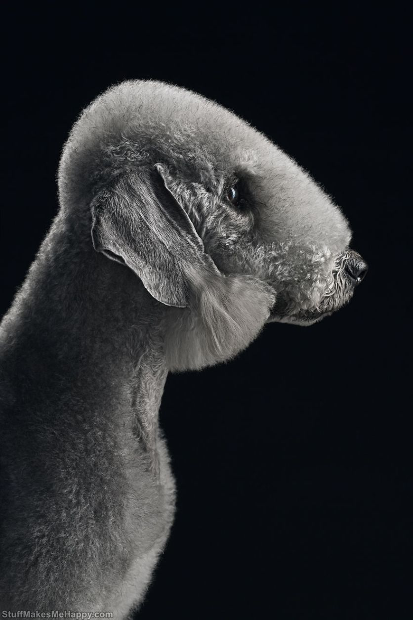 10. Till, Bedlington Terrier. Each of their photos is something cosmic!