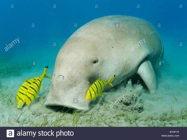 Gambar dan Foot Ikan Duyung