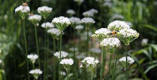 Bees pollinating wild garlic