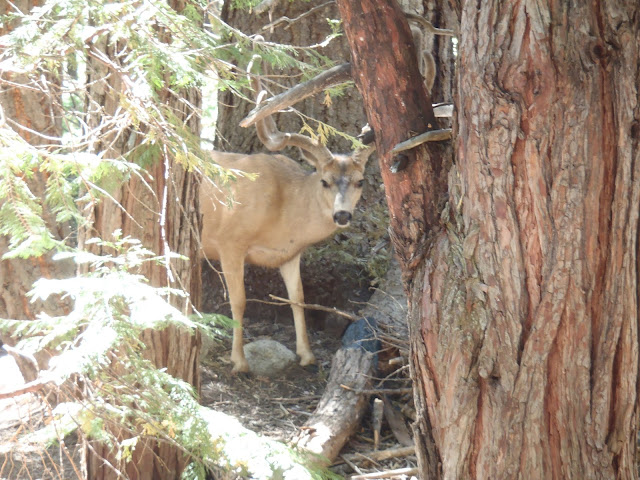 Deer, Rae Lakes Loop, King Canyon/Sequoia National Park