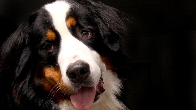 Wallpaper: Bernese Mountain Dog