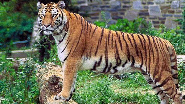 Harimau Benggala di Sundarbans, Bangladesh