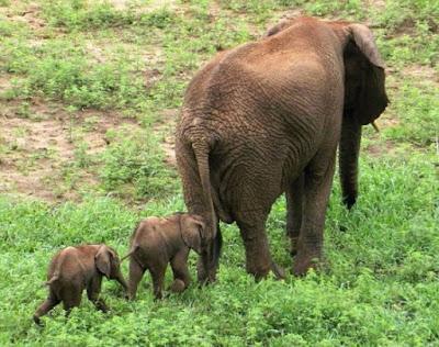 imagenes de elefantes con sus crias