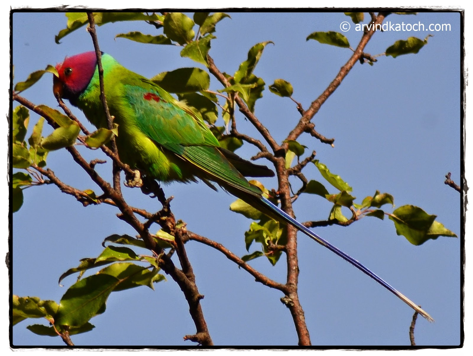 Plum-headed Parakeet, Parakeet,