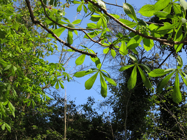 Fresh Horse Chestnut Leaves against a bright blue sky - in Spring (April)