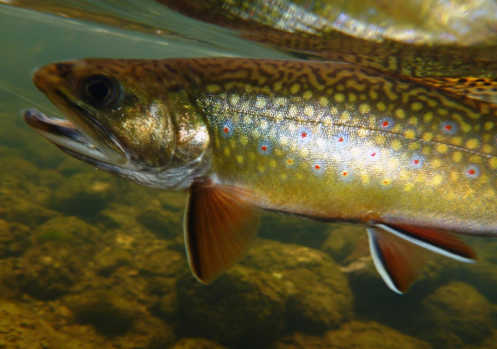 Vermont fly fishing september 2016 for Vermont trout fishing
