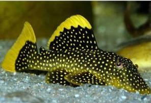 Ikan Sapu Sapu Gold Nugget pleco