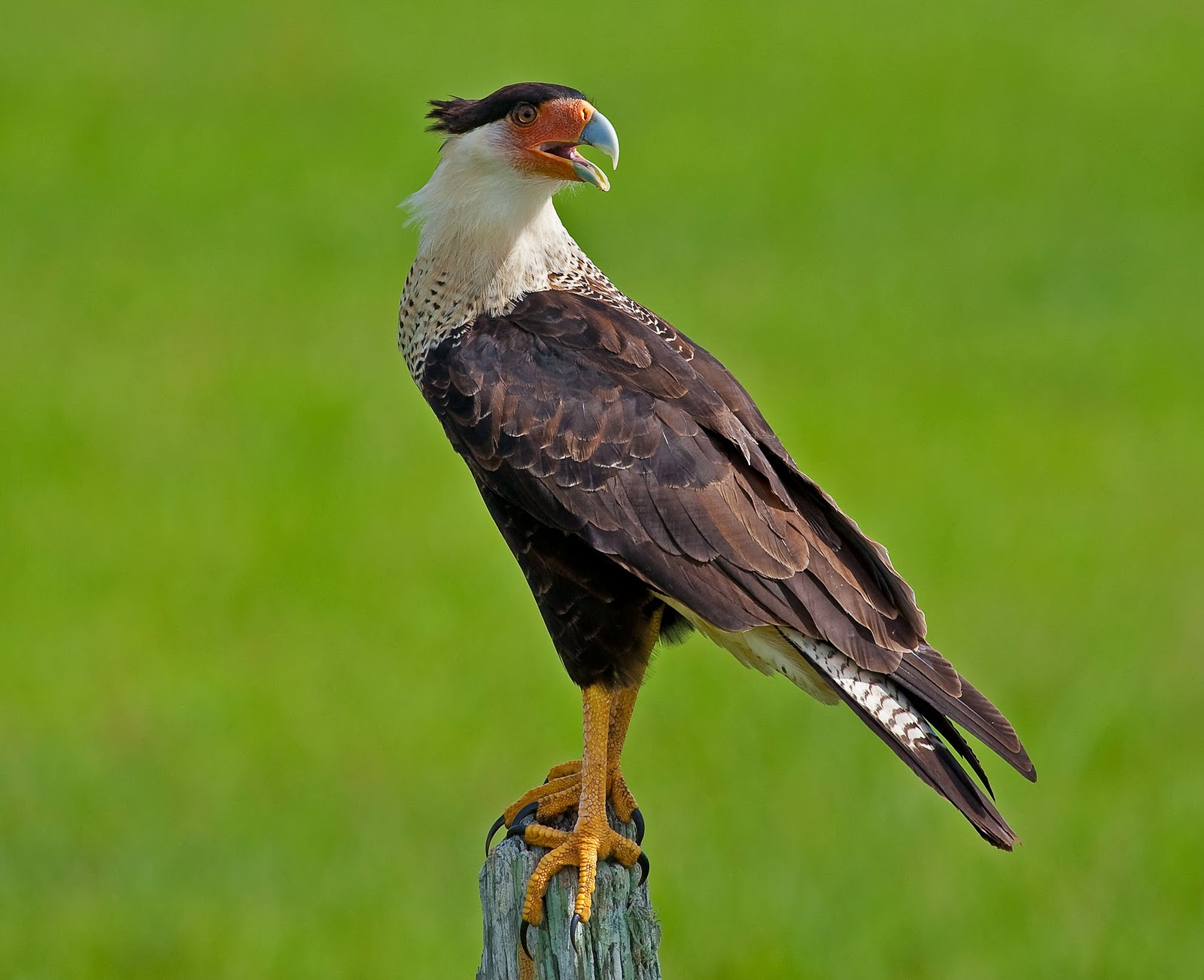Back Into Nature Nature S Neighbors Crested Caracara