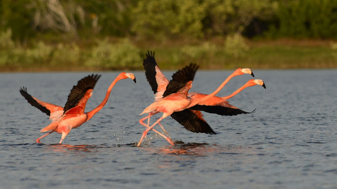 Wallpaper: American Flamingo