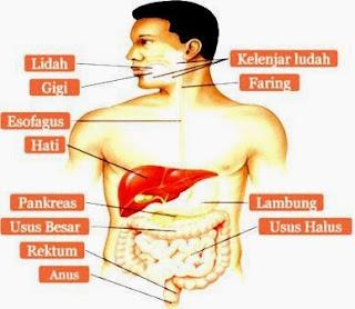 Proses Pencernaan Makanan Dari Mulut Sampai Anus Lengkap Proses Pencernaan Makanan Dari Mulut Sampai Anus Lengkap