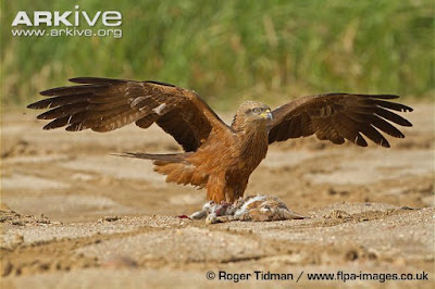 Black Kite and European Rabbit