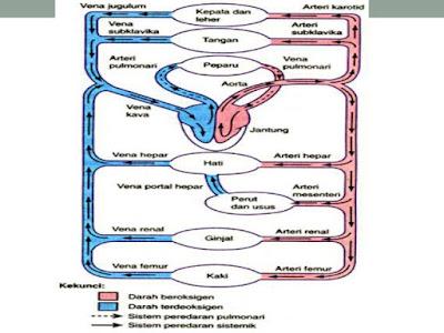Sistem Peredaran Darah Manusia Beserta Penjelasannya Sistem Peredaran Darah Manusia Beserta Penjelasannya