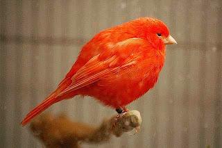 warna kenari merah