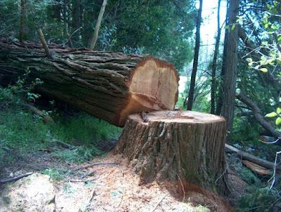 Cutting down dry tree