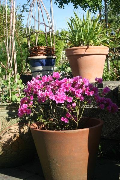 Fru Halds hage: Plante i krukker