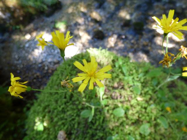 Leontodon Autumnalis, flori in Valea Horoabei, Bucegi