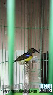 Suara Burung Kolibri Manggar : suara, burung, kolibri, manggar, Perawatan, Harian, Kolibri, Manggar, Cepat, Gacor, Rumah