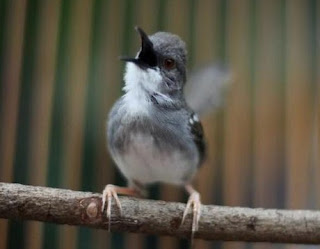 Cara Membuat Racikan Pakan Burung Ciblek Supaya Gacor Setiap Hari