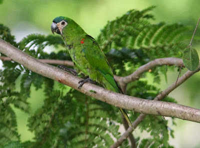 Northern red shouldered macaw