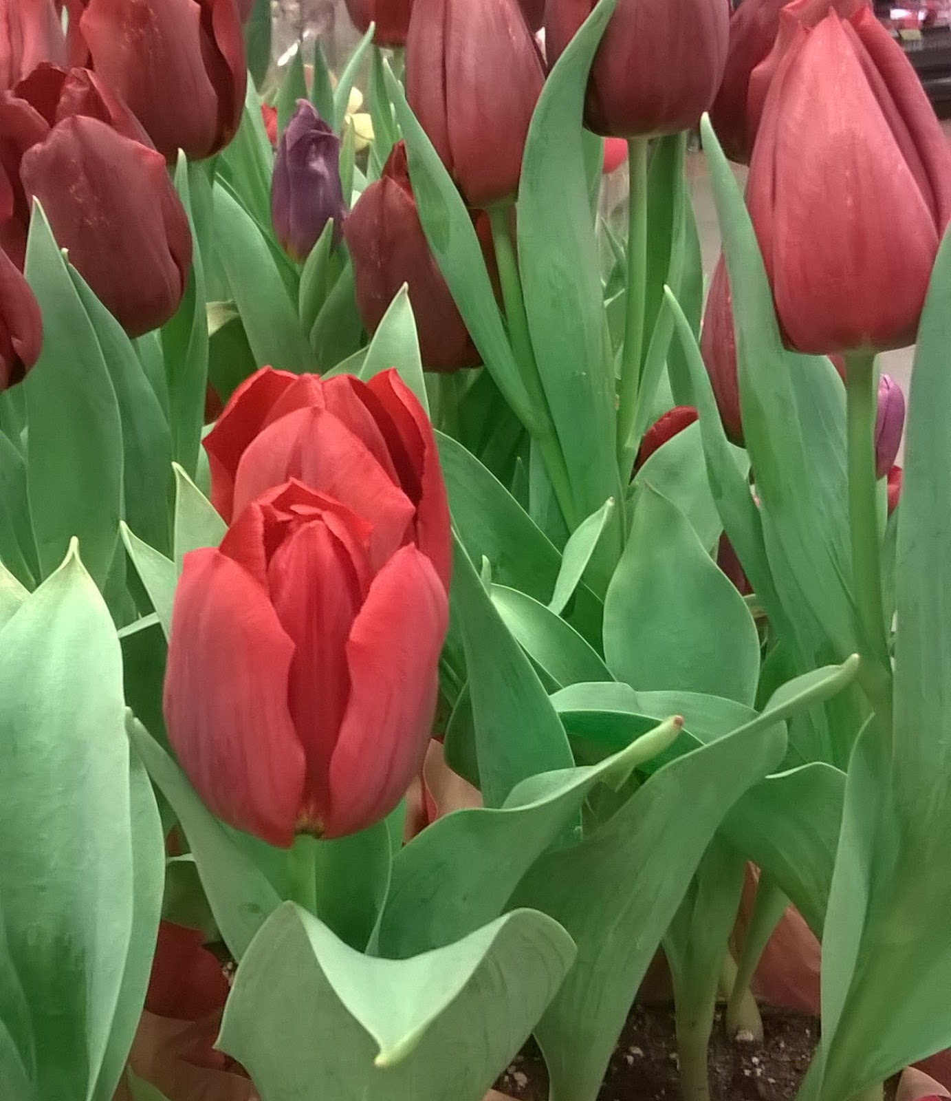 Tulips,That Change Colors | Flower and Garden
