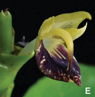 Zingiber castaneum