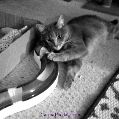 Cat playing with Catit toy
