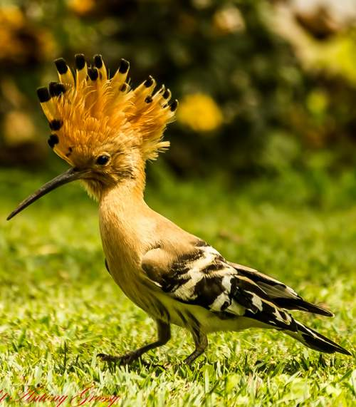 Indian birds - Picture of Common hoopoe - Upupa epops