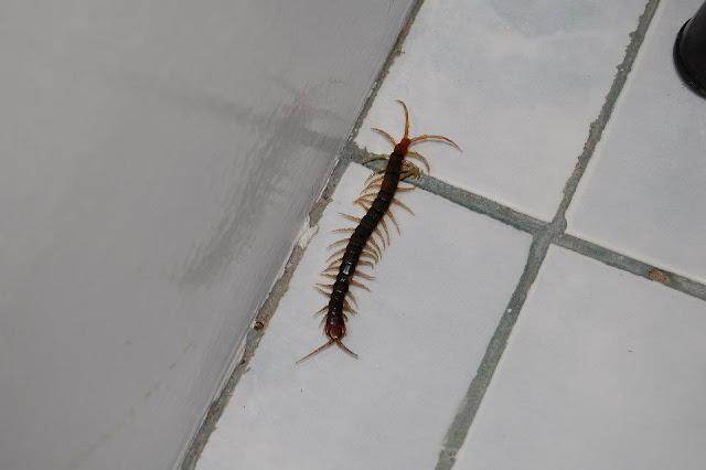 Опасные насекомые на Филиппинах - Сколопендра на острове Самал