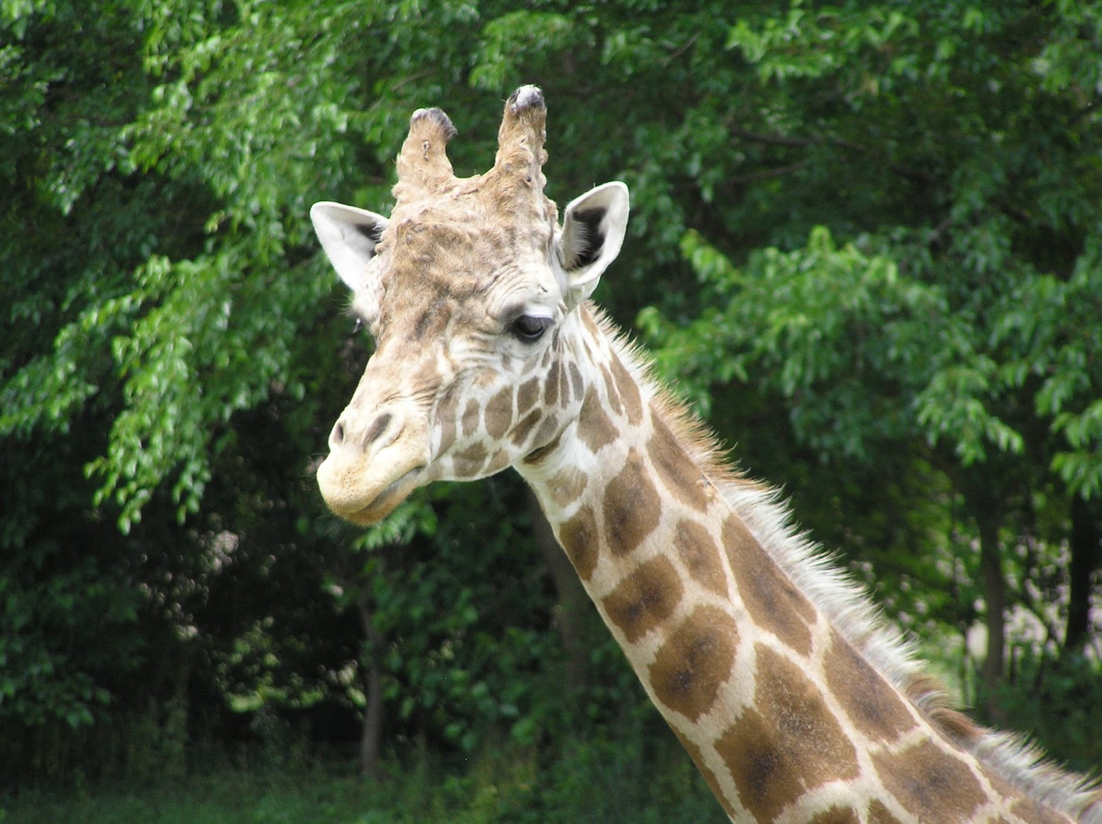 todd u0027s blog how many giraffes are there anyway