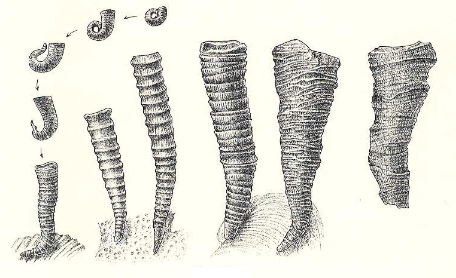 Image result for cornulites