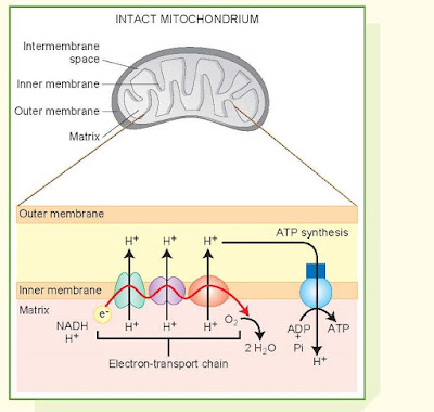 The Electron Transport Chain