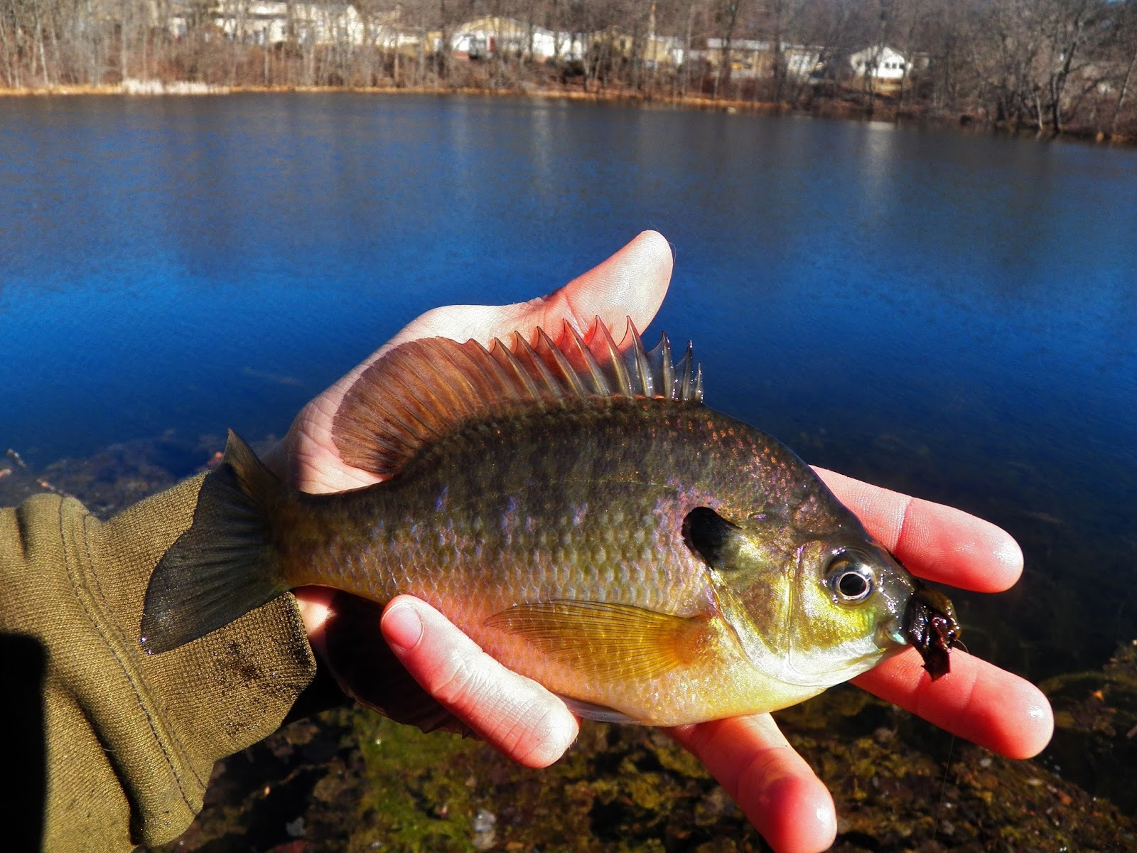 Connecticut fly angler february panfish sight fishing for Bluegill fly fishing