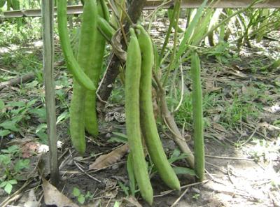 Mempersiapkan bibit Kacang Koro