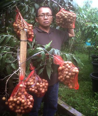 Tips Budidaya Kelengkeng Itoh Super Agar Berhasil