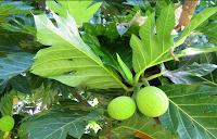 Leaves Sukun