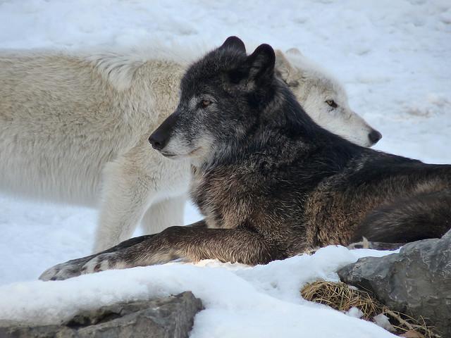 White Wolf : Gray Wolf...