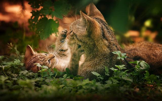 Twee spelende katten
