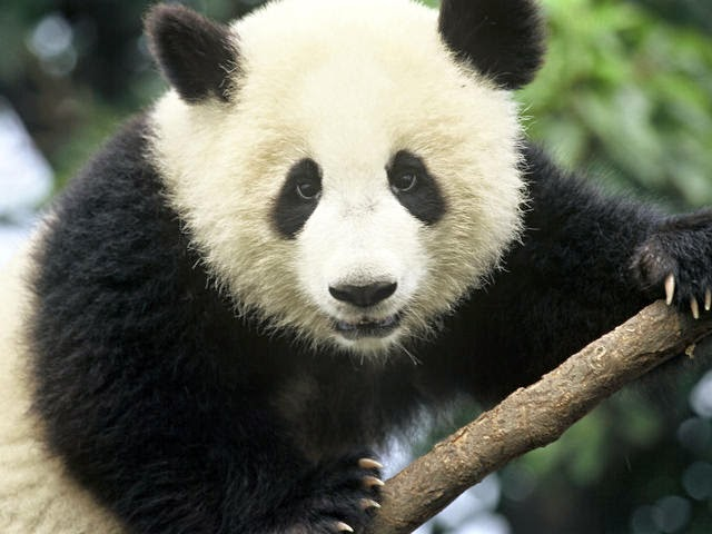 Description of Panda