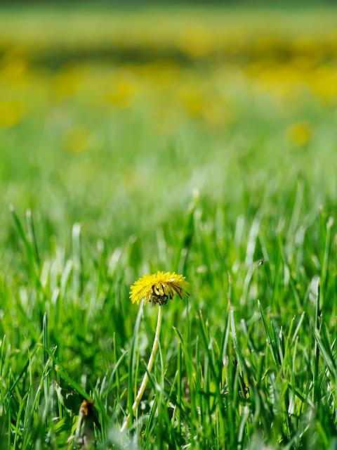 mlecz   łąka   zieleń   lato   słońce   trądzik