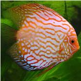 Profil Ikan Hias Diskus ikan hias tercantik