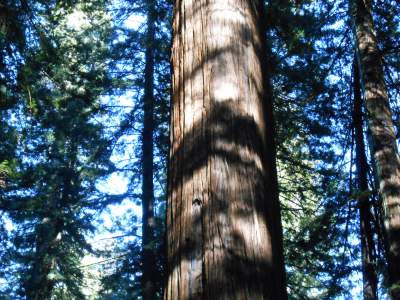 redwood trees, blue sky, unobstructed growth, spiritual growth, spiritual nature, true nature