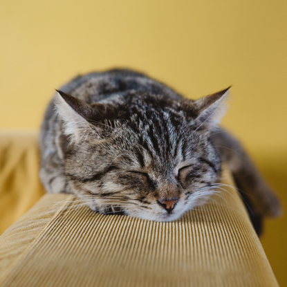 tabby cat sleeping on back of sofa