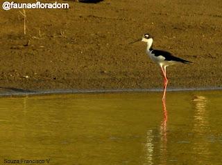 Pernilongo-de-costas-negras Himantopus mexicanus