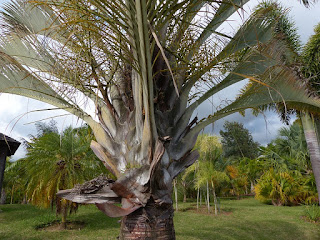 Dypsis decaryi - Palmier triangle