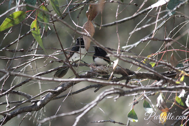 Mr and Mrs Willie Wagtail discussing the finer points of nest building