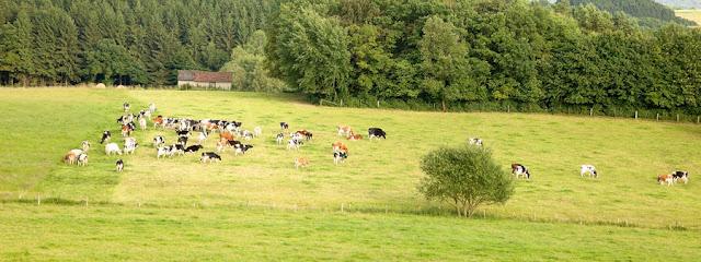 Eifel, Kühe auf der Wiese. Landwirtschaft in der Eifel. Edyta Guhl.