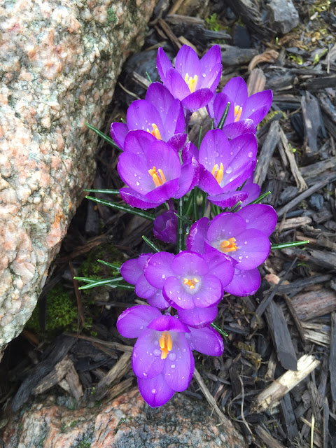 purple crocus in march with water drops