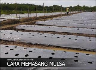 Cara memasang Mulsa