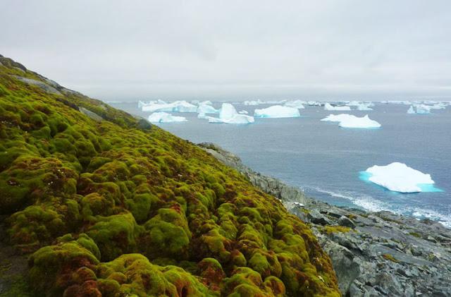 Антарктида начала стремительно покрываться мхом