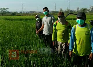 Cegah Meluasnya Serangan Wereng, LPPM Unigoro Bersama Petani Brabowan Lakukan Penyemprotan Massal